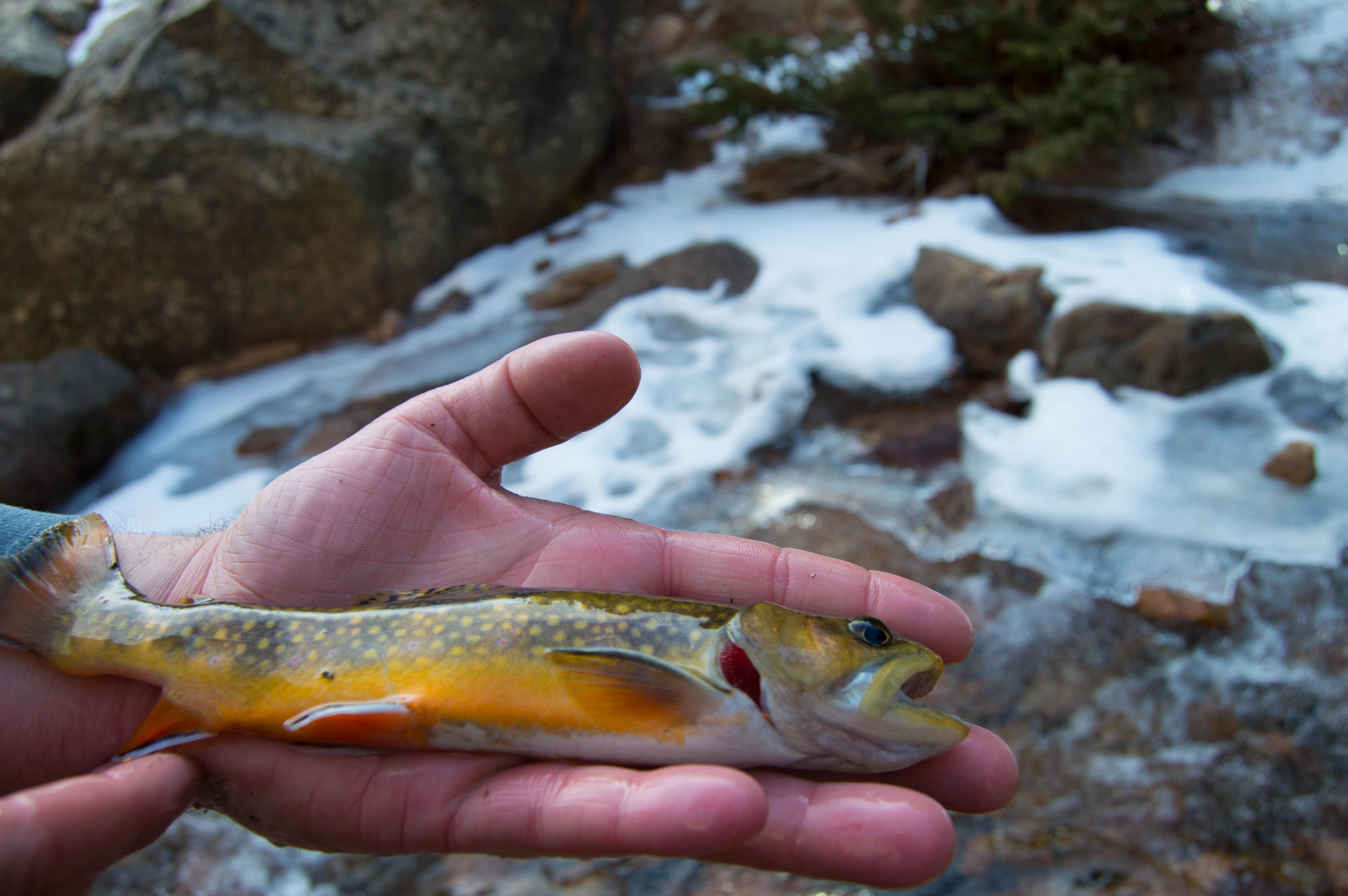 Brook Trout - Seven Bridges Fishing - Colorado Springs